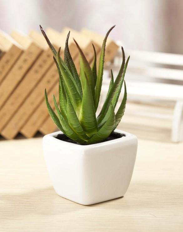 jolie petit aloe vera en plante