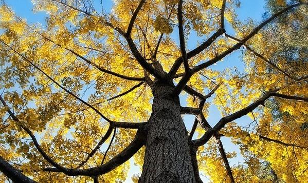 gingjobilaboa arbre