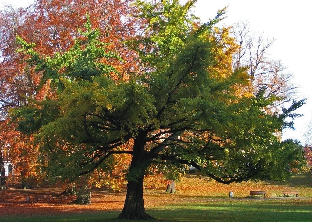 arbre ginkgo biloba dans nature