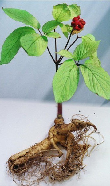 ginseng rouge plante