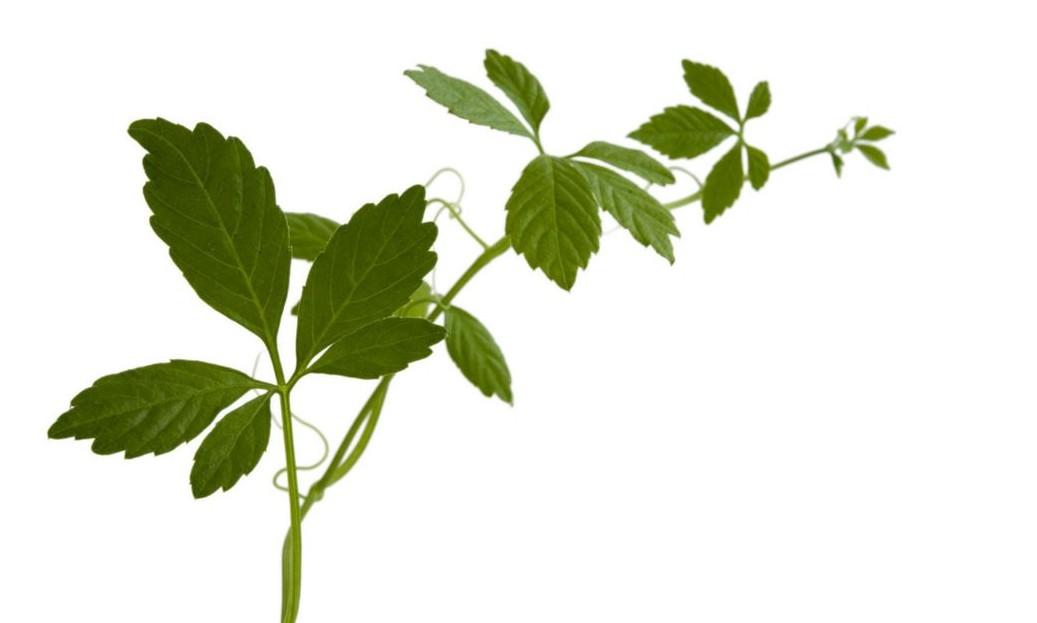 feuilles bénéfiques de jiaogulan