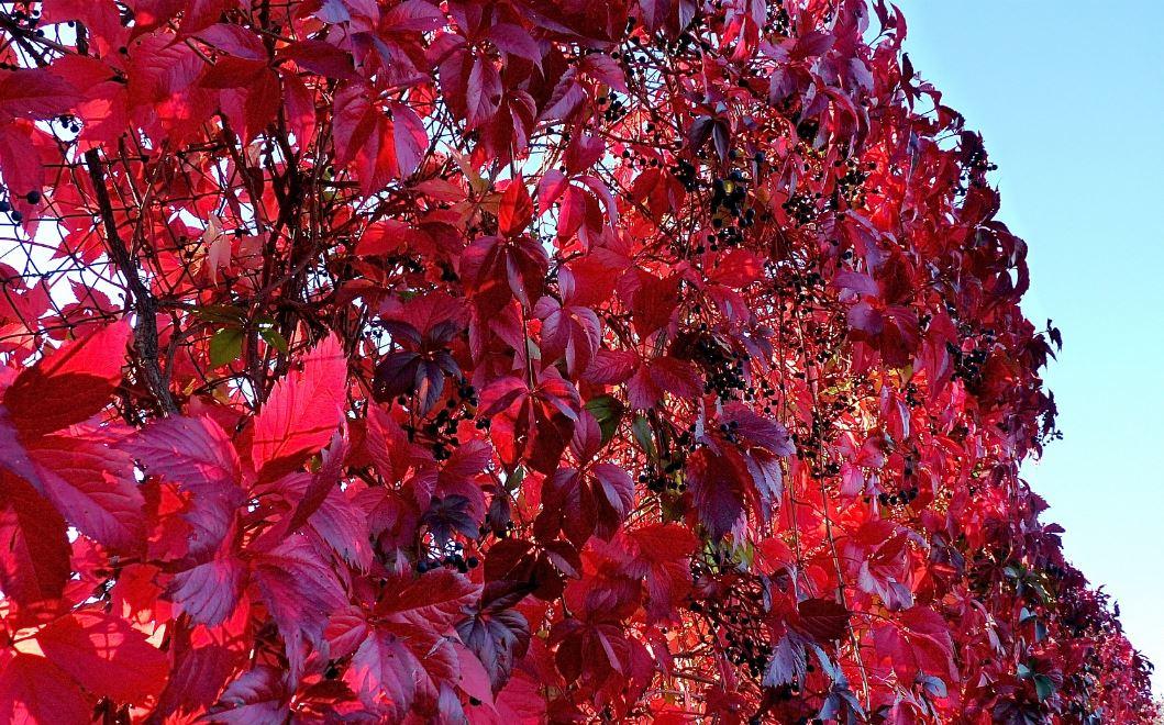 tisane aux feuilles de vigne rouge