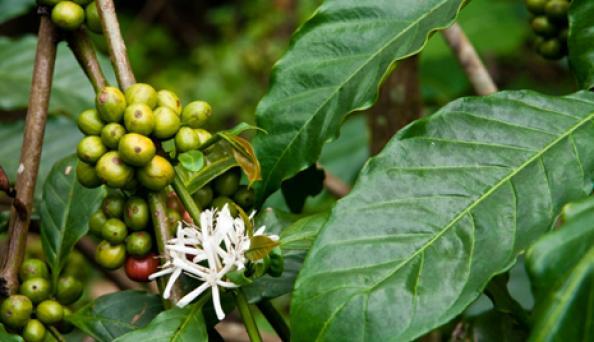 extrait de grains de café vert à djeddahe