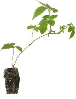 plant de jiaogulan