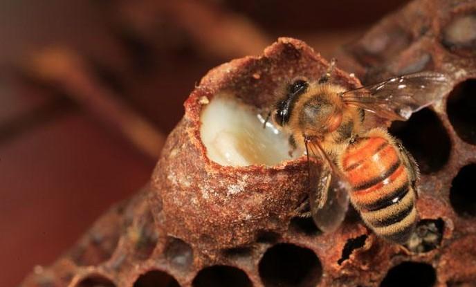 abeille qui prend soin de la larve