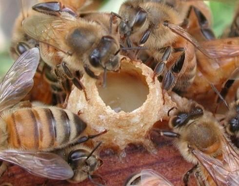abeilles autour d'une alvéole de gelée royale
