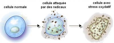 cellule radicaux libres