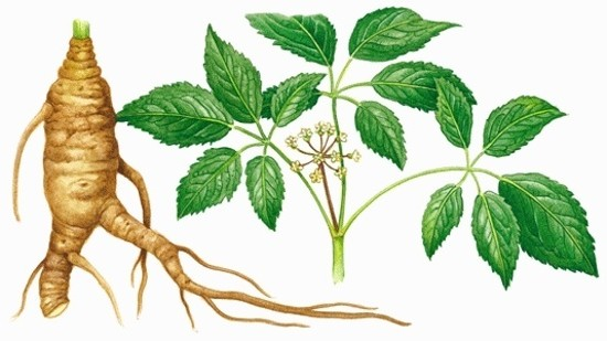 illustration ginseng